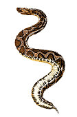 Bitis arietans - large African viper that inflates its body when alarmed