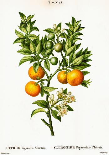 Bitter orange tree branch with leaves and fruits (Citrus bigaradia sinensis). Illustration from Traité des Arbres et Arbustes (1801-1819) by Pierre Joseph Redouté.