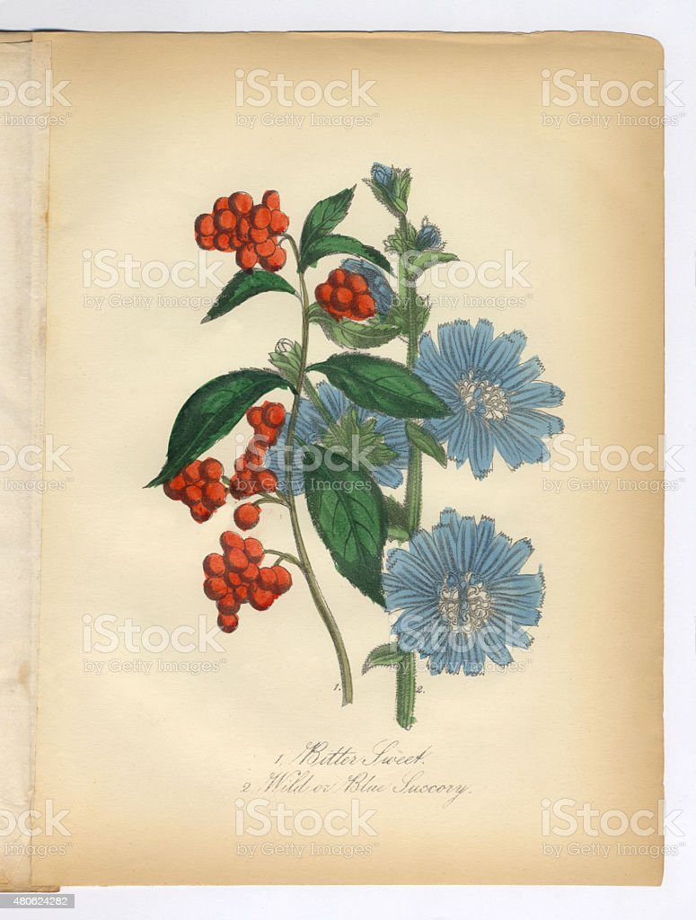 Bitter Sweet And Succory Wild Chicory Victorian Botanical Illustration Royalty Free