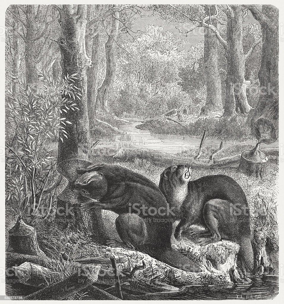 Biver (Castor), wood engraving, published in 1869 vector art illustration