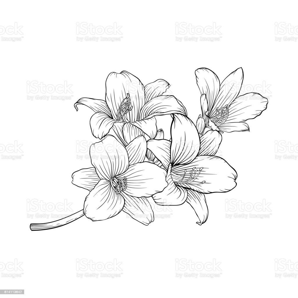 Lys Noir Et Blanc Bouquet Isolé Sur Fond Vecteurs Libres De