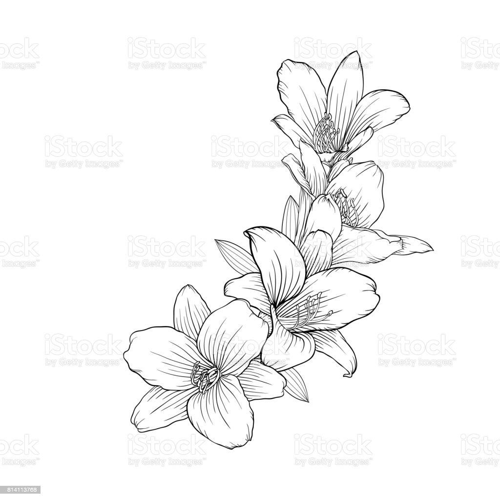 lirio de ramo blanco y negro aislado sobre fondo. - ilustración de arte vectorial