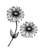 Illustration with black and white daisy flower isolated on white, monochrome botanic illustration of wildflower in ink drawing