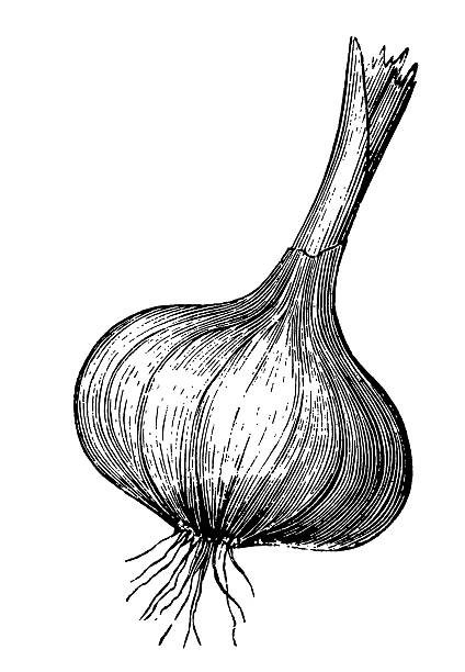"""Black and white illustration of bulb of garlic """"Antique engraving of a garlic, isolated on white. Very high XXXL resolution image scanned at 600 dpi. CLICK ON THE LINKS BELOW FOR HUNDREDS MORE SIMILAR IMAGES:"""" garlic stock illustrations"""