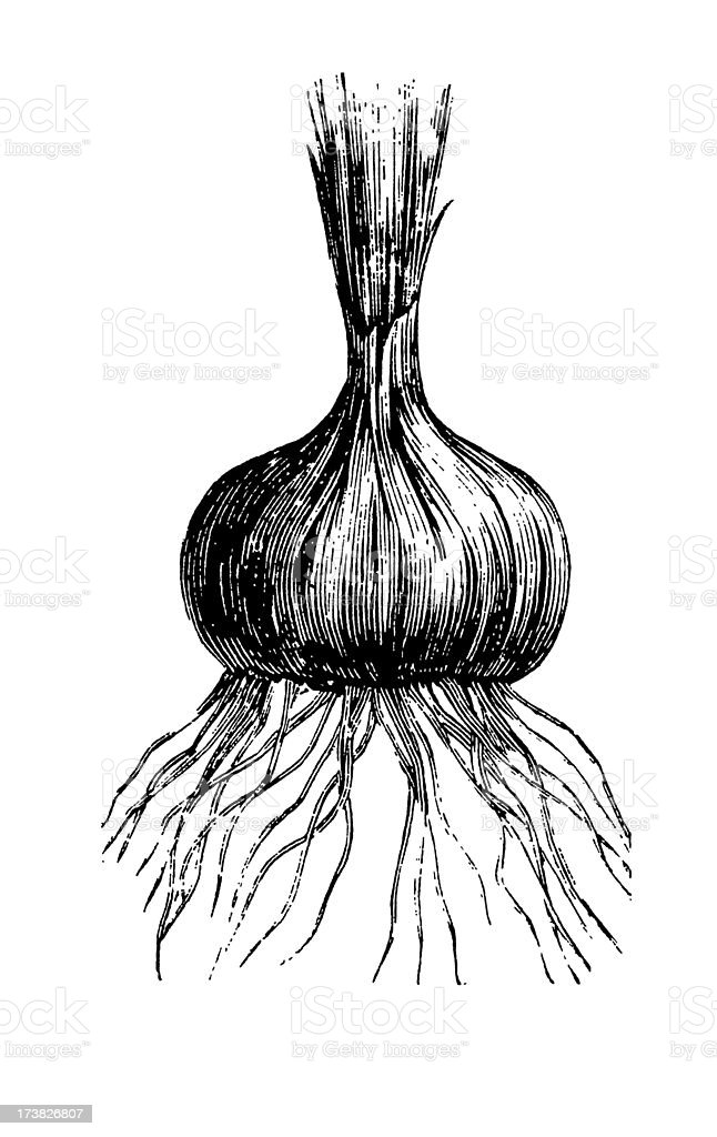 Black and white illustration of onion vector art illustration