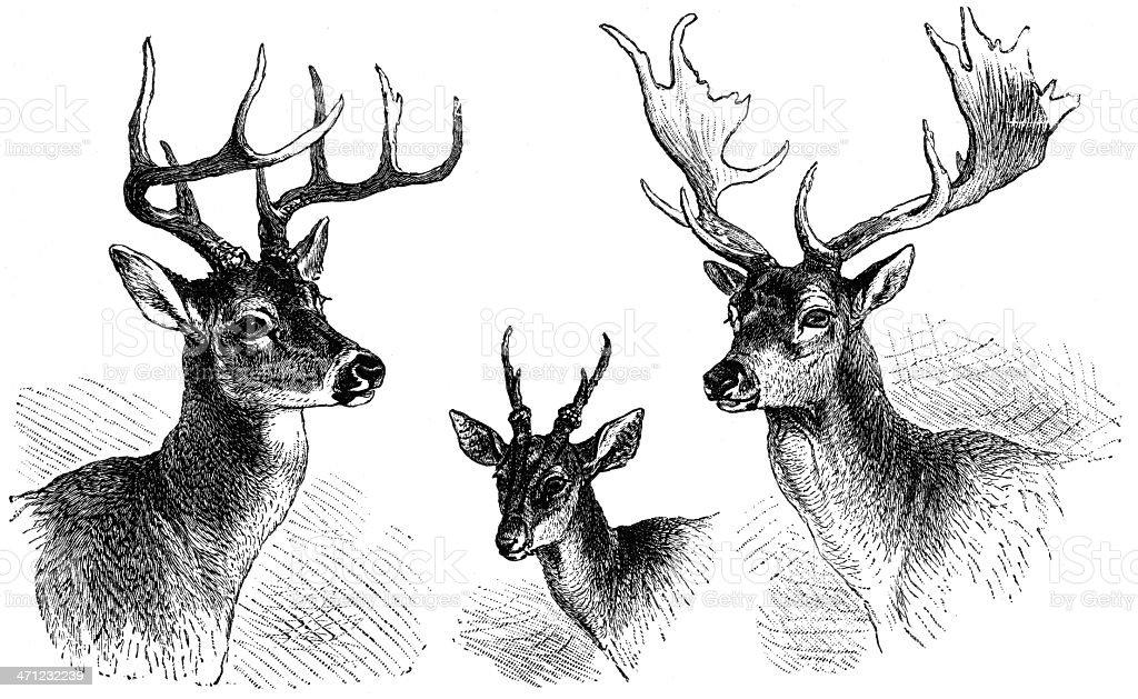 Line Drawing Deer : Black and white line drawing of deer stock vector art more