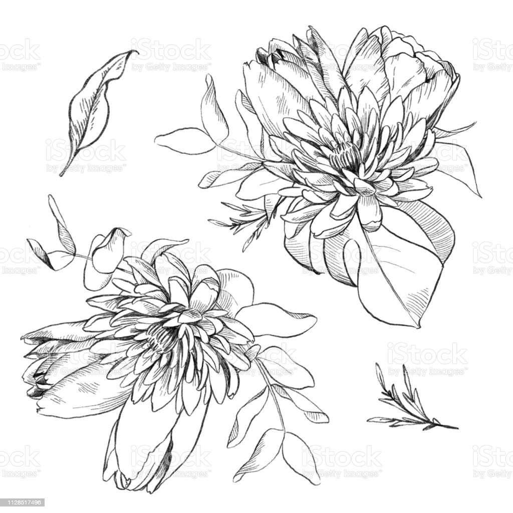 Black and white pencil sketch illustration of flowers bouquet and eucalyptus leaves floral element for wedding and invitation cards illustration