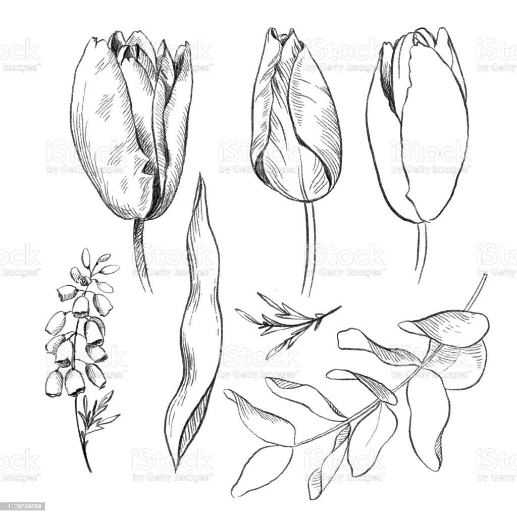 Noir Et Blanc Crayon Croquis Dessin Fleurs Tulip Et