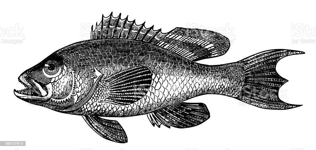 Black bass vector art illustration