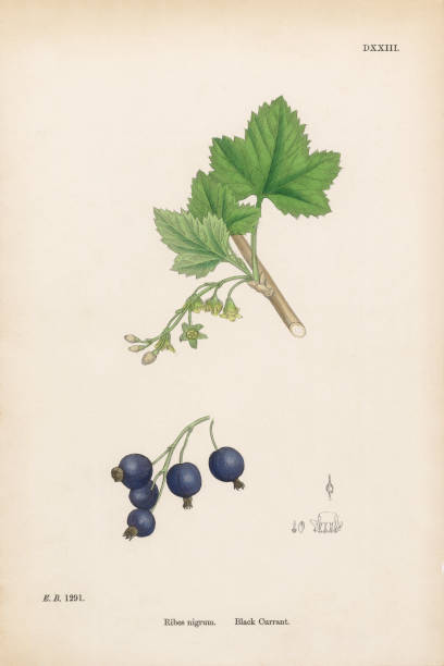 Black Currant, Ribes nigrum, Victorian Botanical Illustration, 1863 Very Rare, Beautifully Illustrated Antique Engraved and Hand Colored Victorian Botanical Illustration of Black Currant, Ribes nigrum, 1863 Plants. Plate 291, Published in 1863. Source: Original edition from my own archives. Copyright has expired on this artwork. Digitally restored. black currant stock illustrations