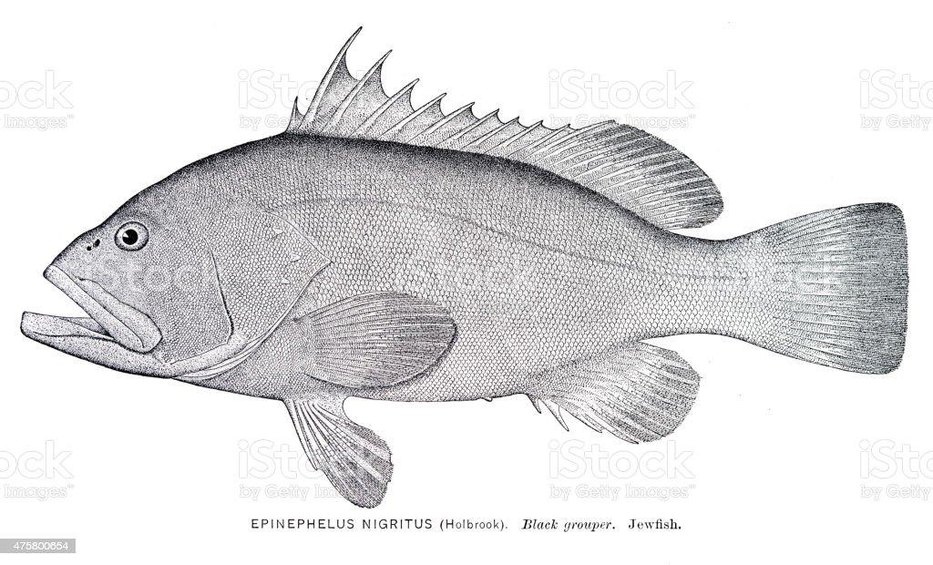 Black grouper engraving vector art illustration