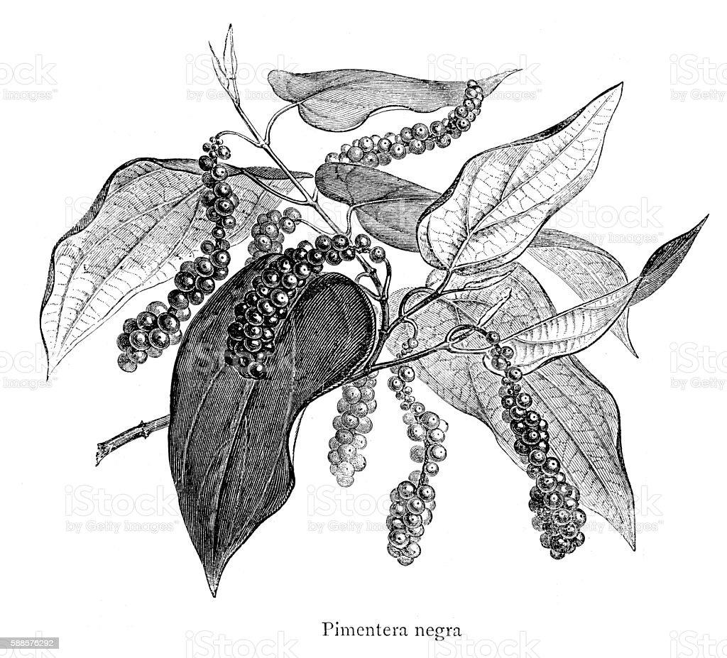 Black Pepper engraving isolated on white vector art illustration