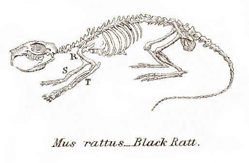 Esqueleto de rata negra grabado 1803