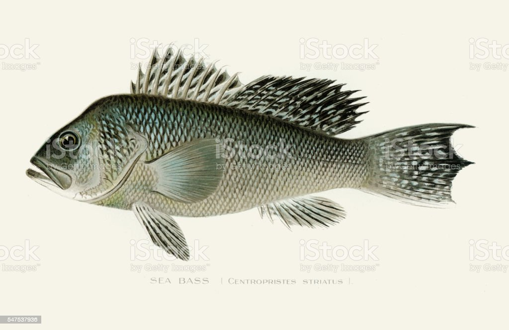Black sea bass illustration 1896 vector art illustration