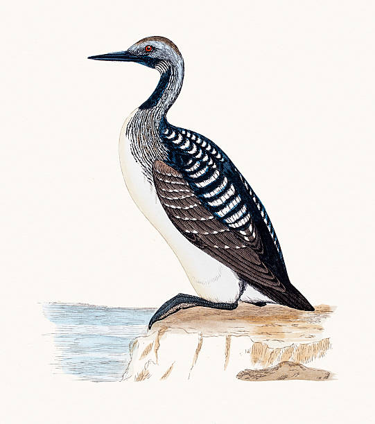 Black Throated Loon A photograph of an original hand-colored engraving from The History of British Birds by Morris published in 1853-1891. loon bird stock illustrations