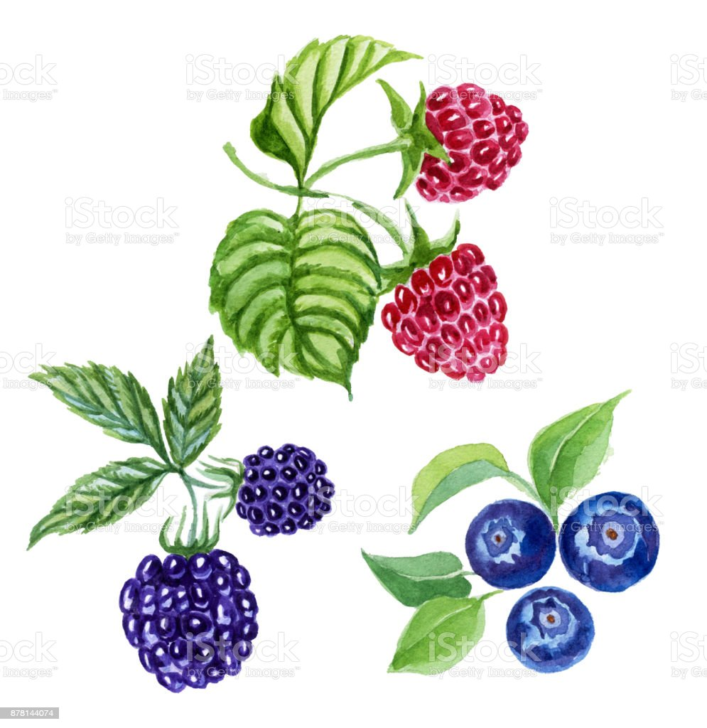 Blackberry, blueberry, raspberry botanical illustration.  Painting in watercolor. vector art illustration