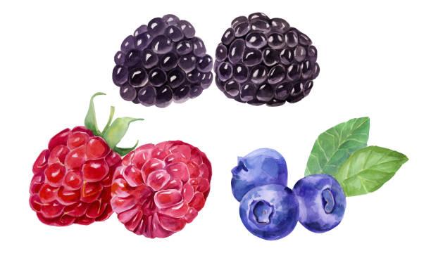 bildbanksillustrationer, clip art samt tecknat material och ikoner med blackberry, blåbär, hallon botaniska illustration. akvarell bild. - bär