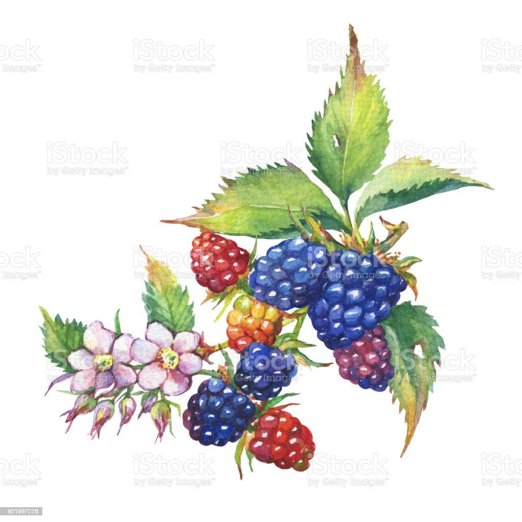 Blackberry Fruchte Weisse Bluten Und Blatter Realistische Botanische