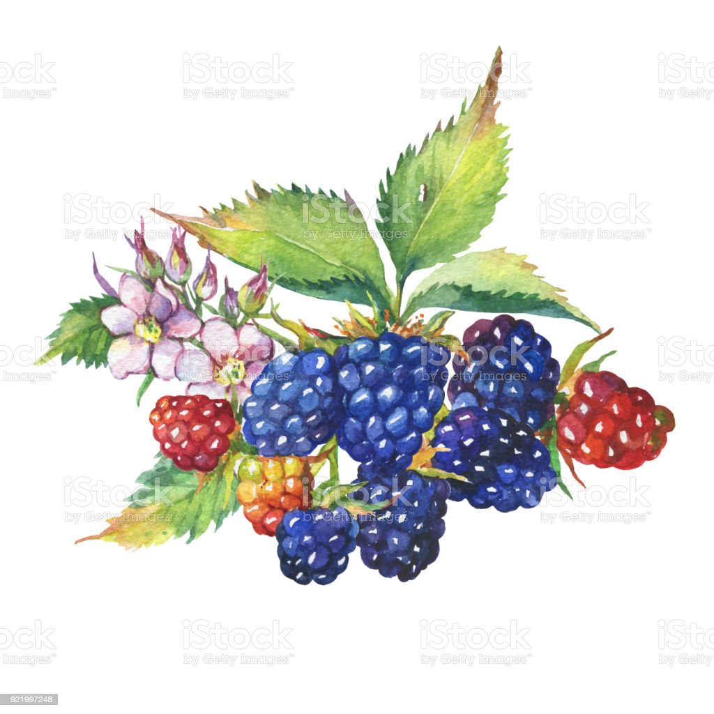 Brombeere Frucht Weißen Blüten Und Blätter Aquarell Handgezeichnete