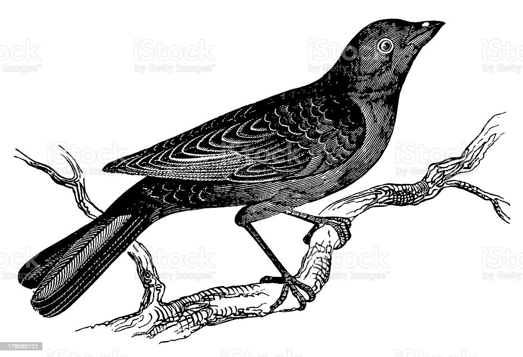 Blackbird | Antique Animal Illustrations royalty-free blackbird antique animal illustrations stock vector art & more images of 19th century