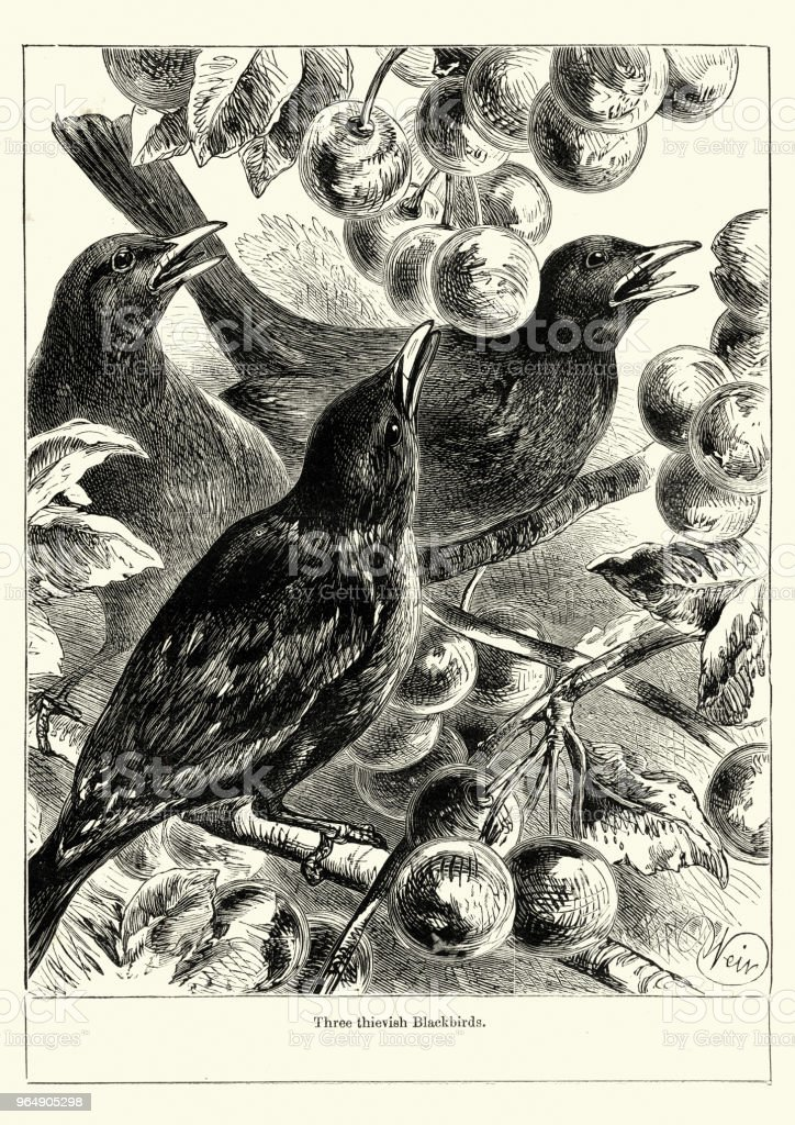 Blackbirds stealing fruit from the orchard, Victorian, 19th Century - Royalty-free 1890-1899 stock illustration