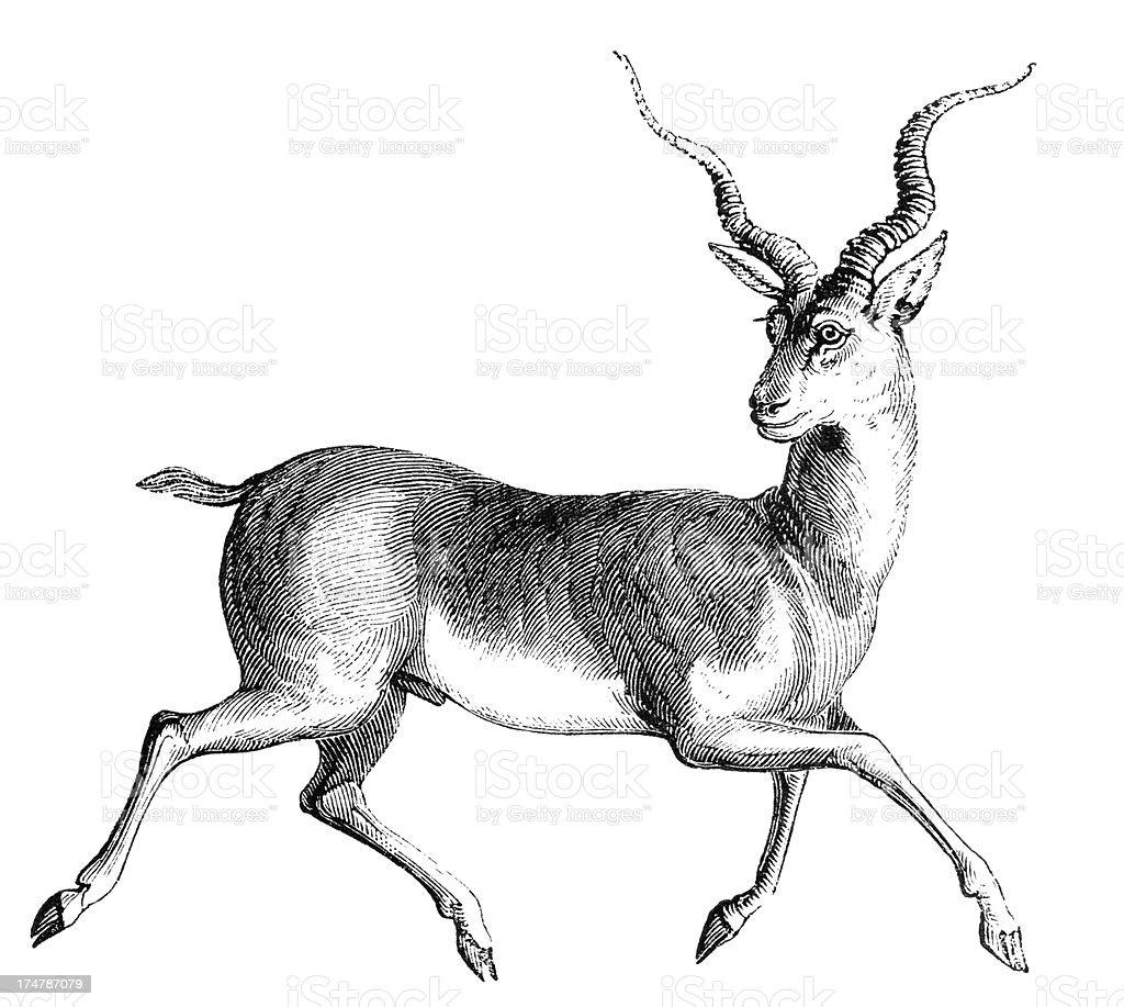Blackbuck royalty-free stock vector art