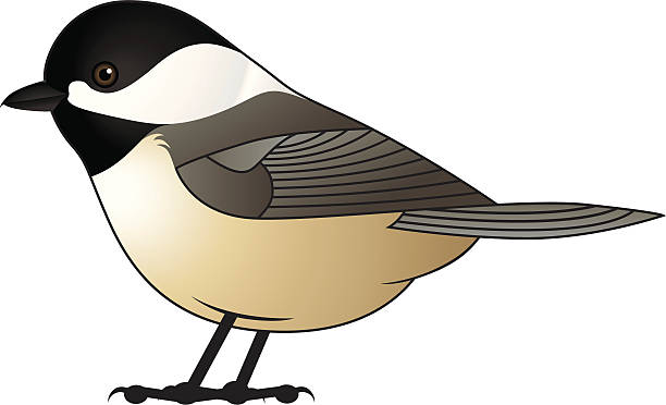 Black-Capped Chickadee Vector Vector drawing of a Black-Capped Chickadee. chickadee stock illustrations