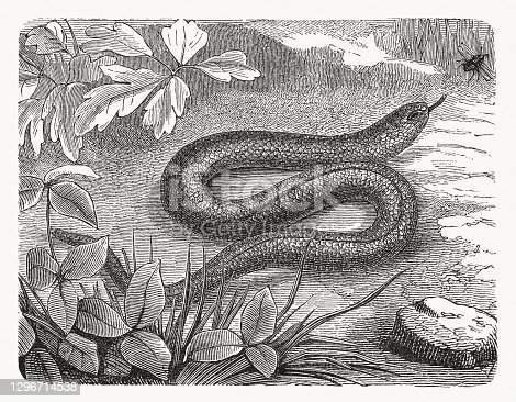 istock Blindworm (Anguis fragilis), wood engraving, published in 1893 1296714538