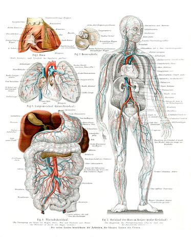 Blood circulation cardiovascular system in human body 1896