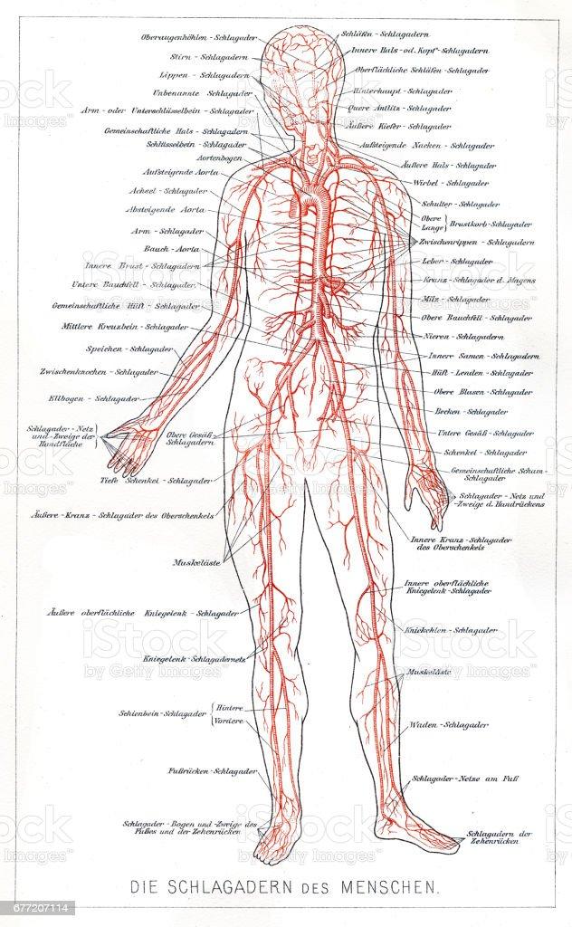 Blutsystemanatomie Gravur 1857 Vektor Illustration 677207114 | iStock