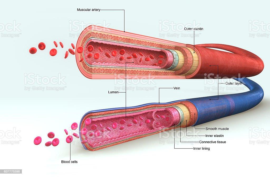 Blood vessels vector art illustration