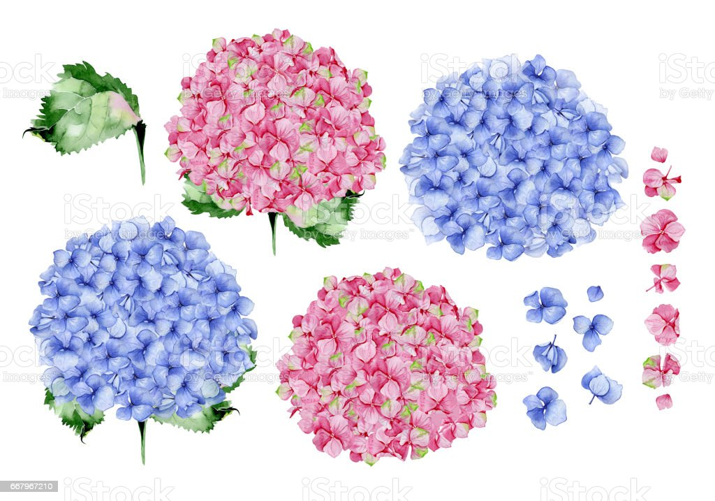 Blue and pink watercolor hydrangea floral design. vector art illustration