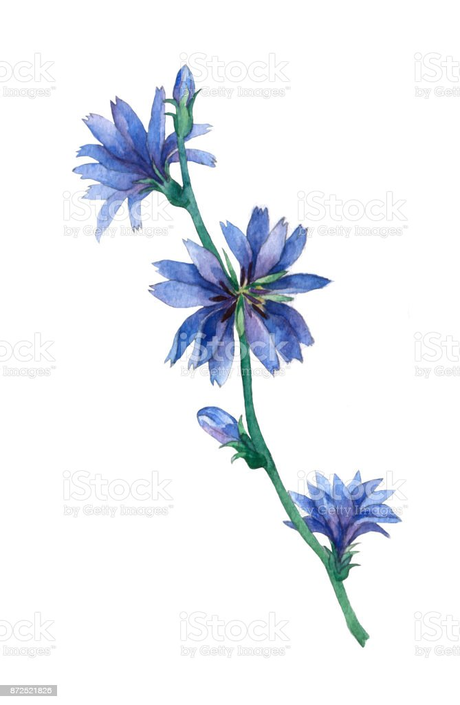 Blue chicory flowers common chicory is a bushy perennial herb blue chicory flowers common chicory cichorium intybus is a bushy perennial herb mightylinksfo