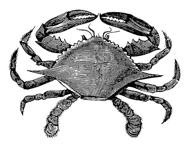 stockillustraties, clipart, cartoons en iconen met blue crab | antique animal illustrations - blauwe zwemkrab