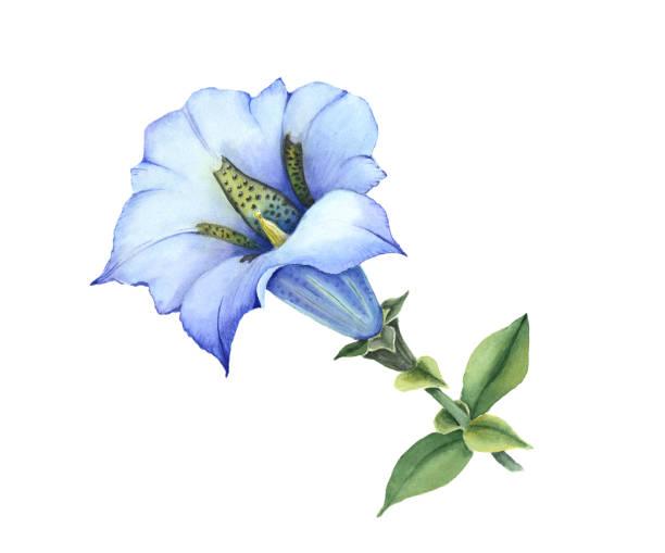 stockillustraties, clipart, cartoons en iconen met blue gentiana - gentiaan