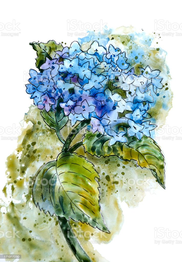 Blue Hydrangea on White vector art illustration