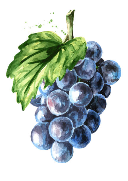 青いイザベラのブドウと緑の葉。白い背景に分離された手描きの水彩色水平イラスト - マスカット イラスト点のイラスト素材/クリップアート素材/マンガ素材/アイコン素材