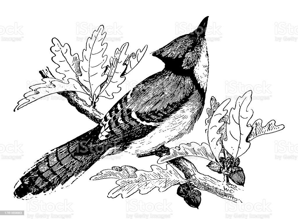 Blue jay | Antique Bird Illustrations vector art illustration