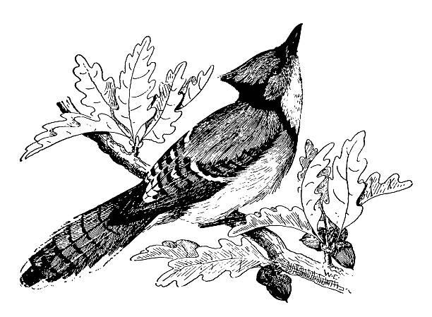 Blue jay   Antique Bird Illustrations vector art illustration