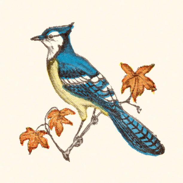 Blue Jay Bird vector art illustration