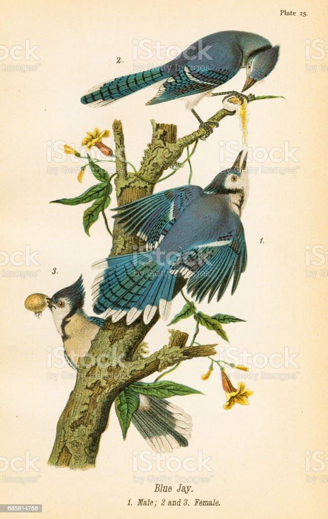 Blue jay bird lithograph 1890 vector art illustration