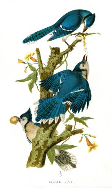 Blue Jay bird lithograph 1897 vector art illustration