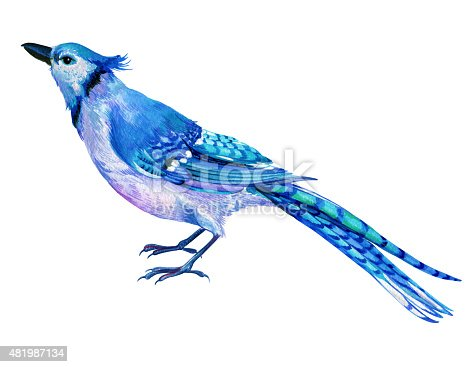 istock blue jay illustration in watercolor. 481987134