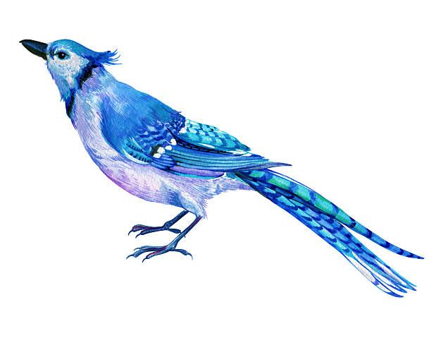 blue jay illustration in watercolor. vector art illustration