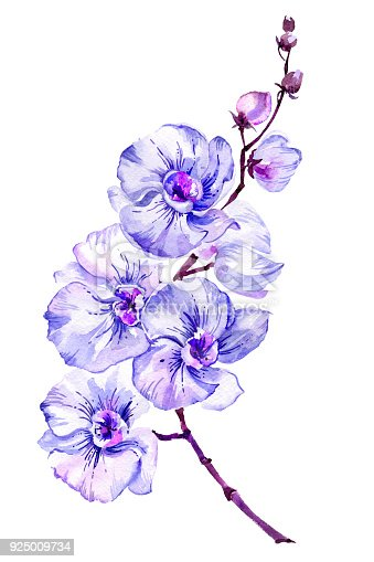 Blue moth orchid (Phalaenopsis) flower on a twig.  Isolated on white background.  Watercolor painting. Hand drawn.