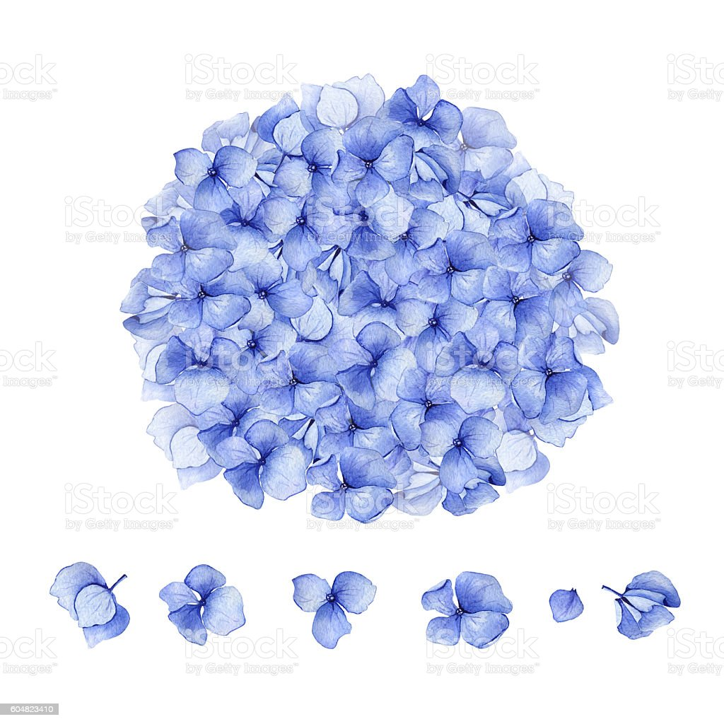 Blue watercolor hydrangea floral design set vector art illustration