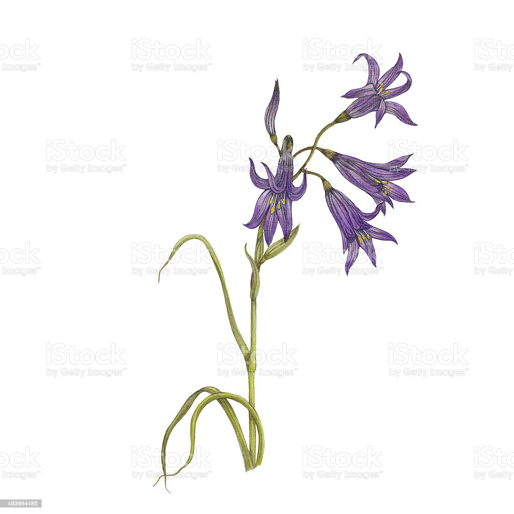 Bluebell flower vector art illustration