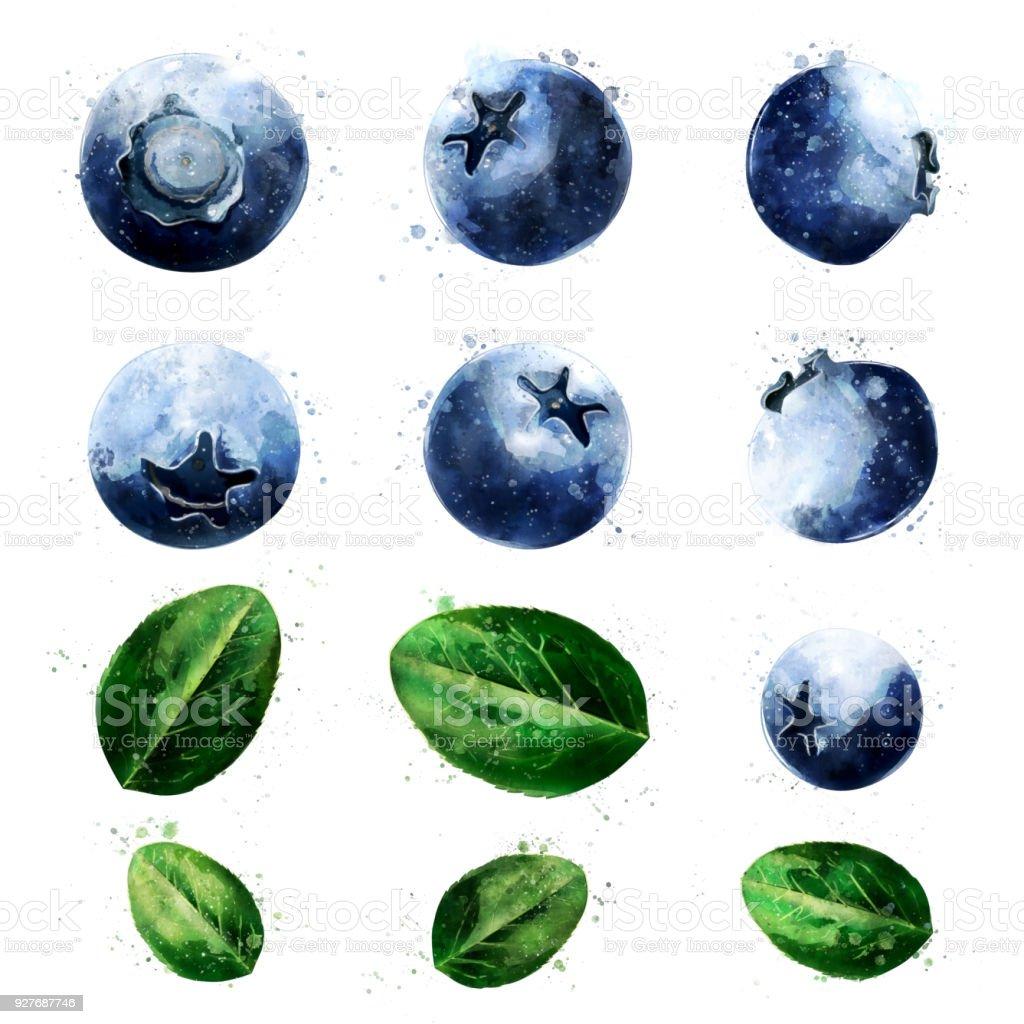 Blueberries on white background. Watercolor illustration vector art illustration