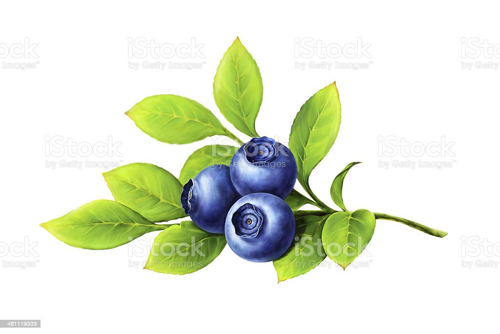 Blueberry branch, leaves and berries vector art illustration