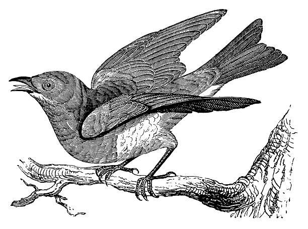 Bluebird   Antique Animal Illustrations vector art illustration